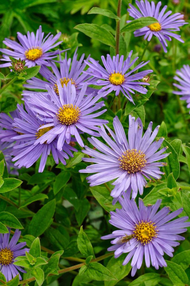 Asters claire austin asters also known as michaelmas daisies new england daisies symphyotrichum galatella izmirmasajfo