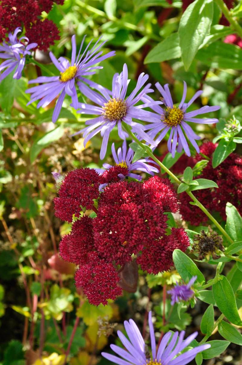 Aster x frikartii Monch with Sedum Red Cauli