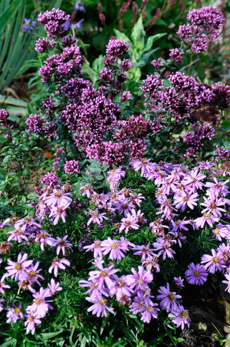 Aster Woods Pink with Origanum