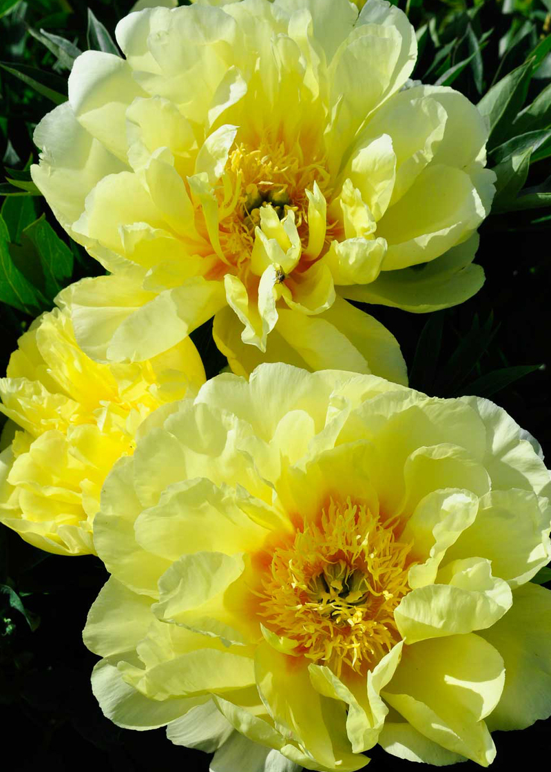 Intersectional Peonies Claire Austin