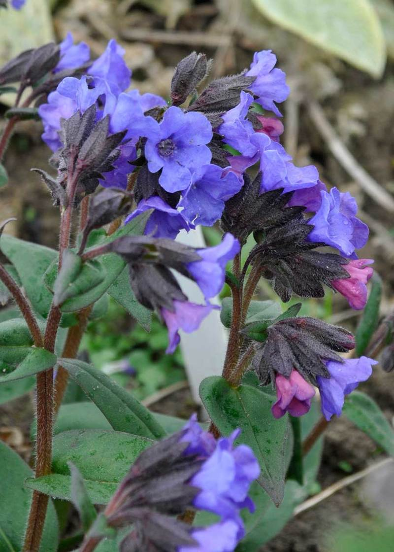 content_pulmonaria-blue-ensign18 Plants For North Side Of House on flowers for north facing house, plants found in colorado, plants for west facing areas, plants for side yards, plants that look good in winter, summer shade house, shrubs for landscaping around your house, flowers for side of house, plants for shaded areas, plants shrubs beautiful, shrubs for side of house,