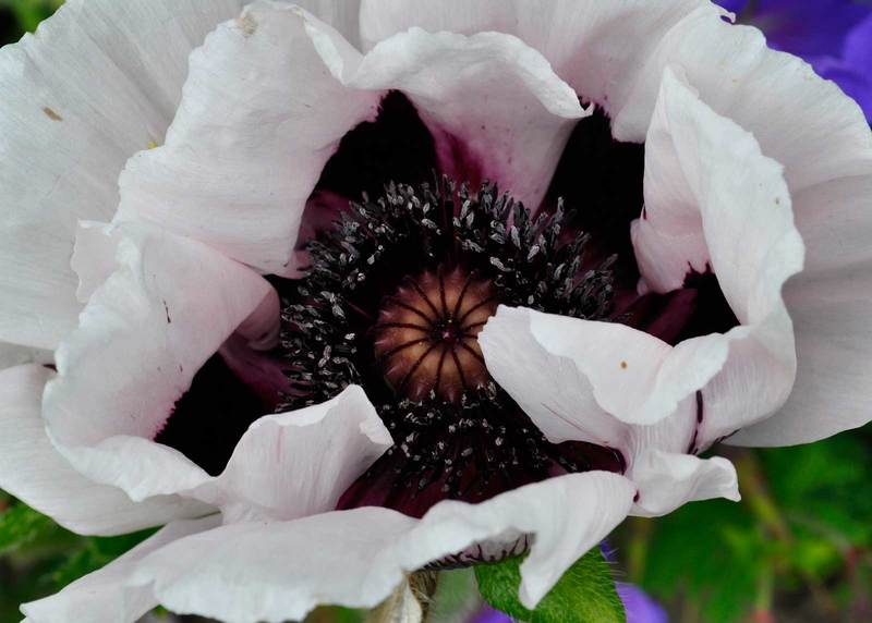 Oriental Poppies Claire Austin