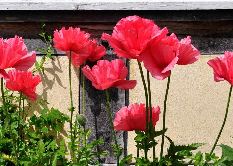 Oriental poppies claire austin in the centre of all oriental poppies sits a velvety black doorknob that is fringed by fluffy black stamens the colours range from white pink mightylinksfo