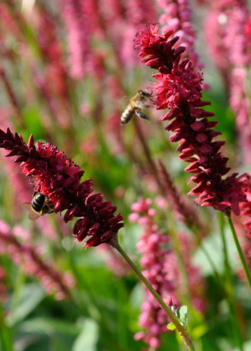Best Perennials For Bees Claire Austin